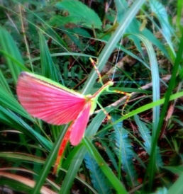 Praying Mantis with bright pink wings. Mt. Madjaas Fauna