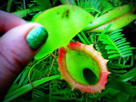 Poetry in Nature. Pitcher Plant