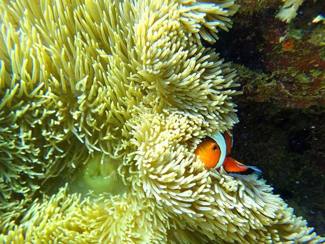 Shy Clownfish. Apo Island, Negros.