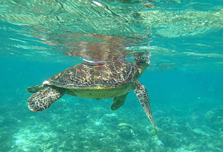 Sea turtle filling his lungs with air. Apo Island Marine Turtle Sanctuary.