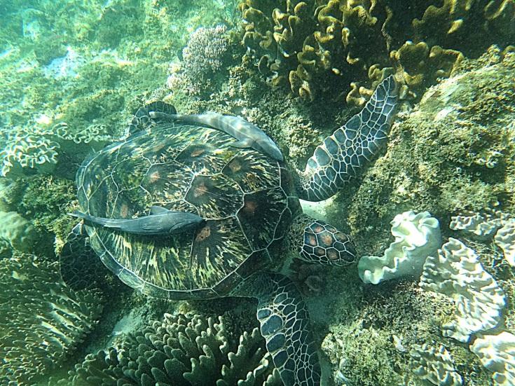 Remora fish on top of the sea turtle. Apo Island Marine Turtle Sanctuary.