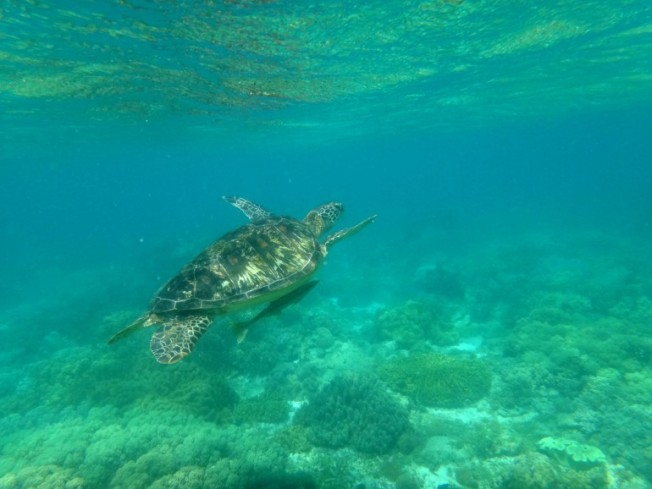 Apo Island. Marine Turtles. Green Sea Turtle or Pawikan with a Remora fish hitching a ride. Apo Island, Negros.