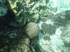 apo island, coral gardens