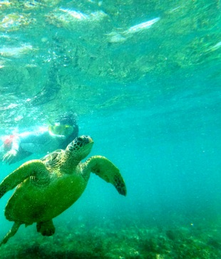 Apo Island. Swimming with Green Sea Turtle.