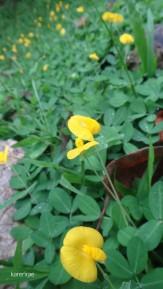 Yellow mini flower. Mauyog Day Hike
