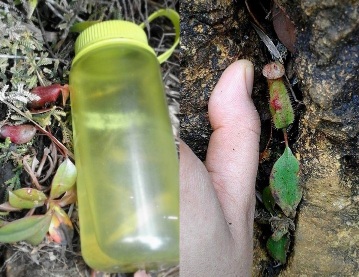 small-sized pitcher plants in Mt. Guiting-Guiting found in hiking trail. Sibuyan, Philippines.