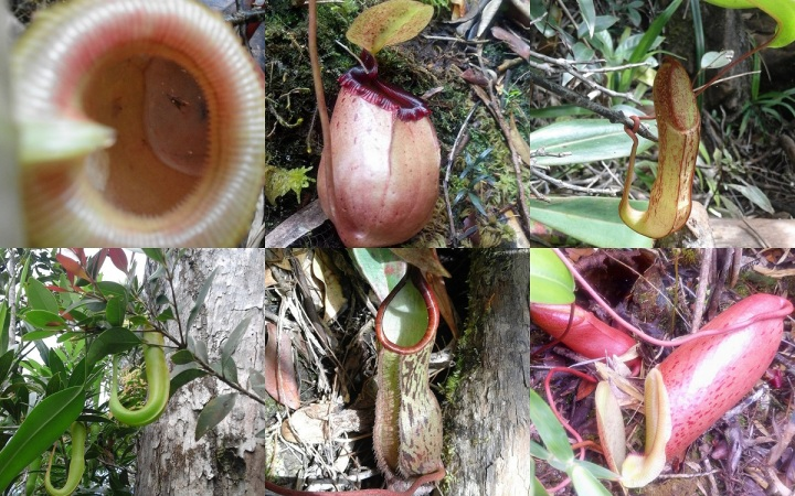 Pitcher Plants found in Mt Guiting-Guiting, Sibuyan Island, Philippines.